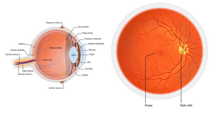 retinal-1